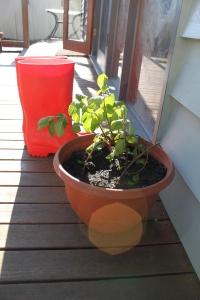 A pot of surprise mint for the deck
