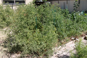 The jungle of tomato plants in their prime
